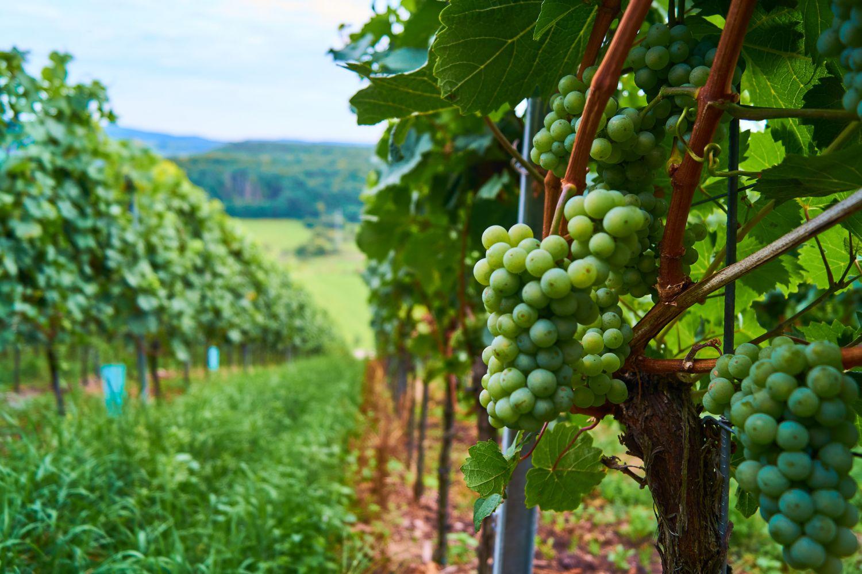 Weinrebe mit Trauben; Rheinland-Pfalz ist eine der Weinregionen Deutschlands