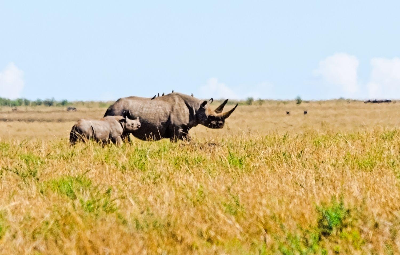 Zwei Nashörner in der Savanne. Thema: Subsahara-Afrika